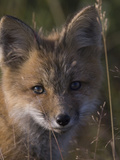 Red Fox Pup in Alaska. Vulpes Vulpes Photographic Print by Michael S. Quinton