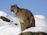 Mountain Lion (Felis Concolor) in Snow, Kalispell, Montana Photographic Print by Matthias Breiter/Minden Pictures