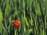Red Poppy (Papaver Rhoeas) in Wheat Field, Barcelona, Spain Photographic Print by Albert Lleal/Minden Pictures
