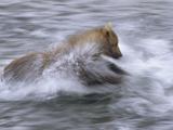 Grizzly Bear (Ursus Arctos Horribilis) Chasing Fish in Shallow Water, Katmai National Park, Alaska Photographic Print by Matthias Breiter/Minden Pictures