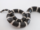 Tail of a Bandy-Bandy Snake Showing Markings and Patterns Photographic Print by Brooke Whatnall