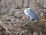 Portrait of Cocoi Heron, Ardea Cocoi, Standing Among Rocks Photographic Print by Roy Toft