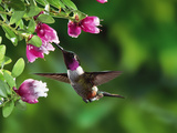 Magenta-Throated Woodstar (Calliphlox Bryantae) Hummingbird, Rainforest, Costa Rica Photographic Print by Michael and Patricia Fogden/Minden Pictures