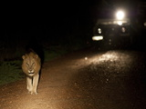 An African Lion, Panthera Leo, in the Headlights of a Vehicle Photographic Print by Roy Toft
