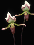 Orchid (Paphiopedilum Callosum) Pair, Native to Asia Photographic Print by Albert Lleal/Minden Pictures