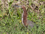 Portrait of a Rufescent Tiger-Heron Resting in the Grass Photographic Print by Roy Toft