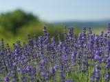 Lavender Fields in Bloom Photographic Print by Joe Petersburger