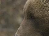 Grizzly Bear (Ursus Arctos), Alaska Photographic Print by Michael S. Quinton
