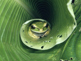 Masked Puddle Frog (Smilisca Phaeota) Sleeping on Heliconia Leaf, Rainforest, Costa Rica Fotografie-Druck von Michael and Patricia Fogden/Minden Pictures