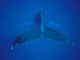 Humpback Whale (Megaptera Novaeangliae) View of Tail, Hawaii Photographic Print by Flip Nicklin/Minden Pictures