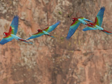 Flock of Green-Winged Macaws, Ara Chloropterus, in Flight Photographic Print by Roy Toft