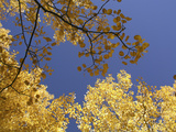 Skyward View of Aspen Tree Leaves in Full Fall Color Photographic Print by  Greg