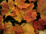 Maple Leaves with Fall Colors in Acadia National Park Photographic Print by Raul Touzon