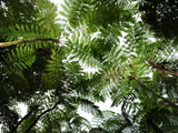 Giant Ferns in a Forest Photographic Print by Raul Touzon