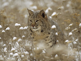 Bobcat (Lynx Rufus) Camouflaged in Snowy Meadow, Montana Fotografisk tryk af Tim Fitzharris/Minden Pictures