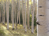 American Aspen Trees in Autumn Color Photographic Print by  Greg