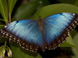 Portrait of a Beautiful Blue Butterfly Photographic Print by Joe Petersburger