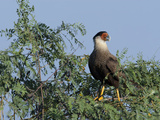 Southern Crested Caracara, Caracara Plancus, Perched in a Tree Photographic Print by Roy Toft