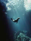 Galapagos Sea Lion (Zalophus Wollebaeki) Pup in Undersea Cave, Seymour Island, Galapagos Islands Fotografie-Druck von Tui De Roy/Minden Pictures