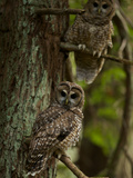 Threatened Northern Spotted Owls in a Redwood Forest Photographic Print by Michael Nichols