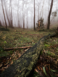 Mount Lofty Stringy Bark Forest on a Foggy Morning Photographie par Brooke Whatnall
