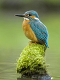 Adult Male Common Kingfisher, Alcedo Atthis, on a Mossy Branch Photographie par Joe Petersburger