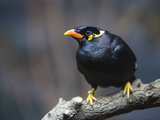 An Indian Hill Myna, Gracula Religiosa, at the San Antonio Zoo Photographic Print by Joel Sartore