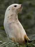 Antarctic Fur Seal (Arctocephalus Gazella) Blond Morph, South Georgia Island Photographic Print by Hiroya Minakuchi/Minden Pictures