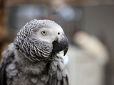 Portrait of an African Grey Parrot (Psittacus Erithacus) Photographic Print by Pete Ryan