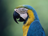 Blue and Yellow Macaw (Ara Ararauna) Rainforest, Peru Photographic Print by Michael and Patricia Fogden/Minden Pictures