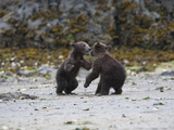 Alaskan Brown Bear, Ursus Arctos, Cubs at Play Photographic Print by Roy Toft
