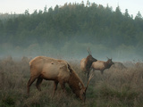 Roosevelt Elk in a Meadow in Prairie Creek State Park Photographic Print by National Geographic Photographer