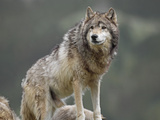 Gray Wolf (Canis Lupus), North America Photographic Print by Tim Fitzharris/Minden Pictures