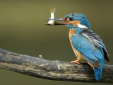 Adult Male Common Kingfisher, Alcedo Atthis, Perches Holding a Fish Papier Photo par Joe Petersburger