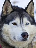An Alert Siberian Husky Sled Dog with Both a Blue and a Brown Eye Photographic Print by Jason Edwards