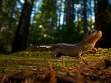 A Rescued Pacific Giant Salamander Released into Rockefeller Forest Photographic Print by Michael Nichols