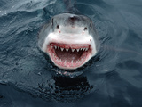 Great White Shark (Carcharodon Carcharias) Close-Up, South Australia Photographic Print by Mike Parry/Minden Pictures