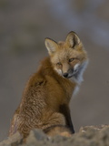 Adult Red Fox (Vulpes Vulpes) in Alaska Photographic Print by Michael S. Quinton