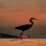 Little Egret (Egretta Garzetta) Silhouetted at Sunset, Africa Photographic Print by Tim Fitzharris/Minden Pictures