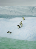 Adelie Penguin (Pygoscelis Adeliae) Group Diving into Sea, Dumont D'Urville, East Antarctica Photographic Print by Colin Monteath/Minden Pictures
