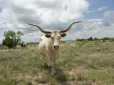 A Texas Longhorn Steer on a Texas Ranch Photographic Print by Joel Sartore