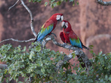 Pair of Green-Winged Macaws, Ara Chloroptera, Perched in a Tree Photographic Print by Roy Toft