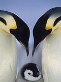 Emperor Penguin (Aptenodytes Forsteri), Atka Bay, Princess Martha Coast, Weddell Sea, Antarctica Photographic Print by Tui De Roy/Minden Pictures