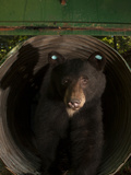 A Black Bear Is Tagged and Released as Part of a Redwoods Study Photographic Print by Michael Nichols