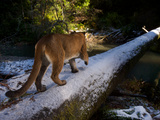 A Remote Camera Captures a Cougar Crossing a Snow Dusted Fallen Log Photographic Print by Michael Nichols