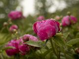 Red Peonies after a Summer Rain Shower Photographic Print by Kenneth Ginn