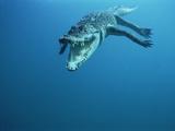 Saltwater Crocodile or Estuarine Crocodile (Crocodylus Porosus) Swimming, Oro Bay, Papua New Guinea Photographic Print by Mike Parry/Minden Pictures