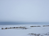 A Reindeer Caravan Herded by the Last Nomadic Komi Clan on the Tundra Photographic Print by Gordon Wiltsie