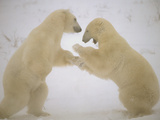 Polar Bear (Ursus Maritimus) Two Males Sparring, Churchill, Manitoba, Canada Photographic Print by Flip Nicklin/Minden Pictures