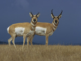 Pronghorn Antelope (Antilocapra Americana) Female, Left, and Male on Grassland, Oregon Photographic Print by Michael Durham/Minden Pictures